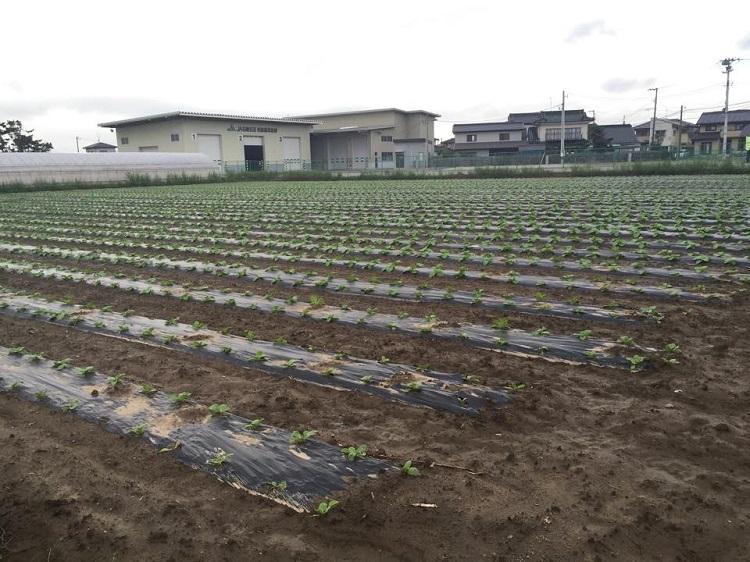 岩沼白菜の成長(2015年9月18日)