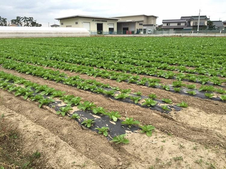 岩沼白菜の成長(2015年10月1日)
