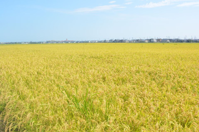 田植えと稲刈りの農業体験も実施中