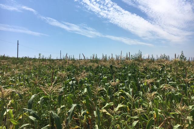 北海道並の大とうもろこし畑