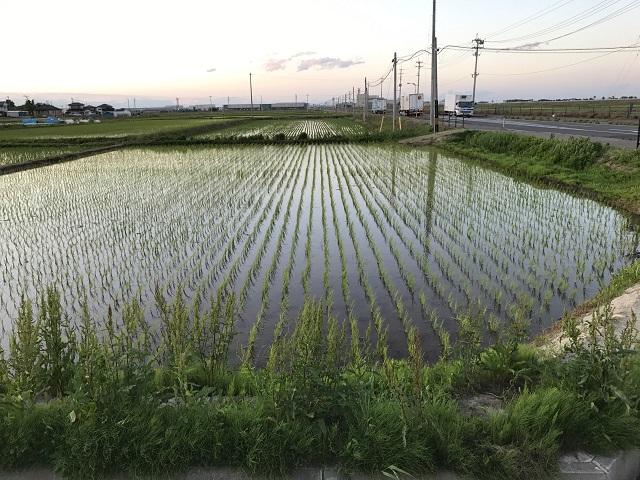 岩沼市玉浦地区[お米](2017年6月10日)