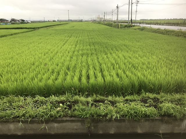 岩沼市玉浦地区[お米](2017年7月28日)