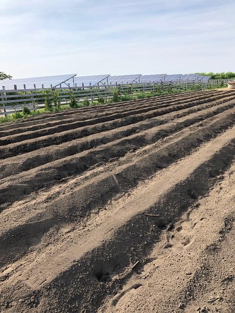 ひまわり農園[さつまいも](2018年5月21日)
