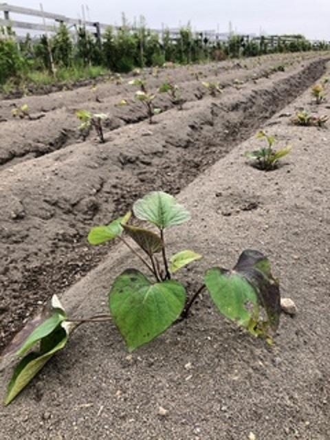 ひまわり農園[さつまいも]2019年6月7日