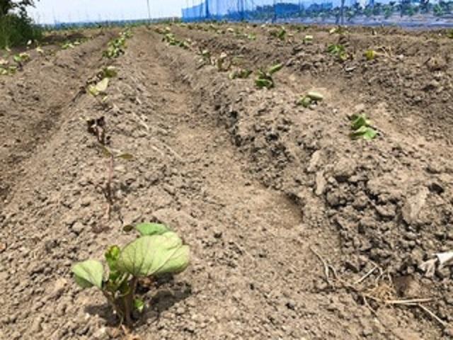 ひまわり農園[さつまいも](2019年5月31日)